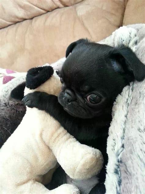 owning a pug puppy de 25 bedste id 233 er inden for black pug p 229 sort mops hvalp moppehvalpe