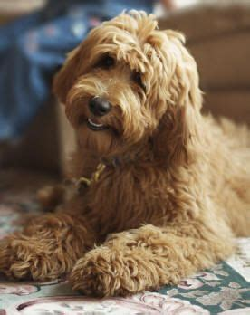 mini labradoodles seattle 23 best images about dempsey cuts on poodles