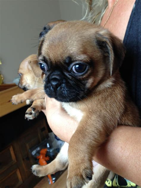 pug puppies for sale gloucestershire pug cross puppies for sale gloucester gloucestershire pets4homes