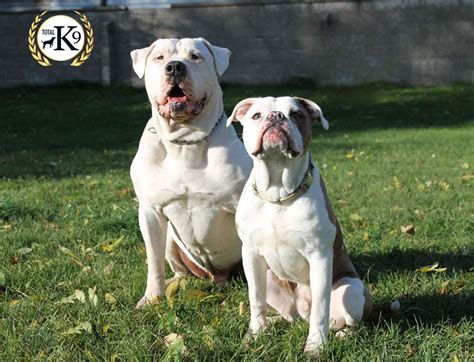 in house dog trainer in house dog training and dog training boot cs protection dogs total k9