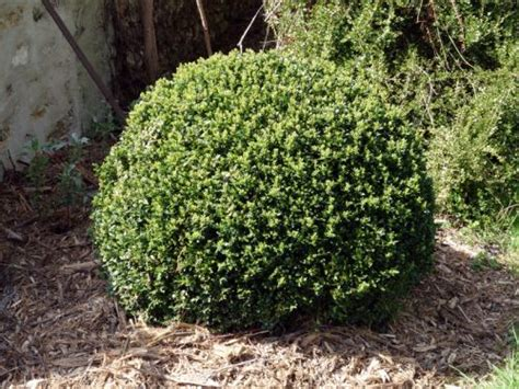 Planter Du Buis by Buis Buxus Sempervirens Planter Cultiver Multiplier
