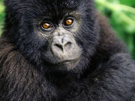 black gorilla   hd wallpapers