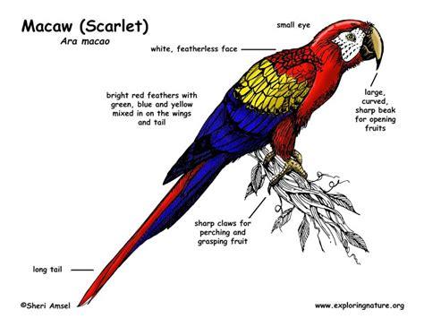 image gallery macaw anatomy