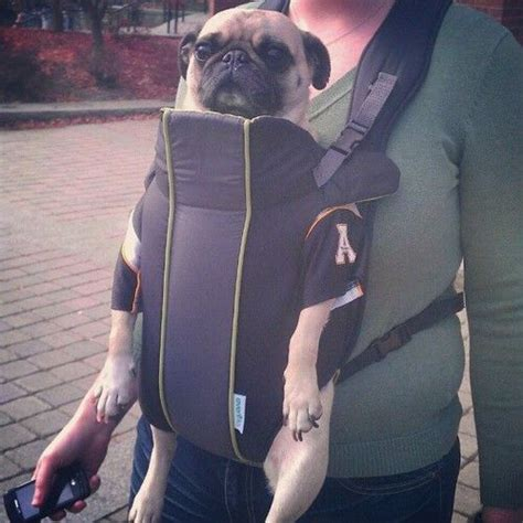 pug pet carrier pin by ms thang gibson on its a pug pug world