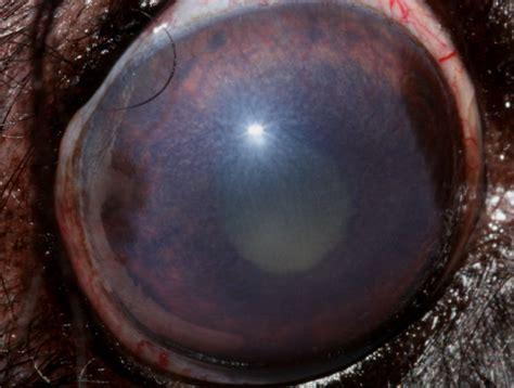 golden retriever sudden causes glaucoma secondary to anterior uveitis from vetstream definitive veterinary