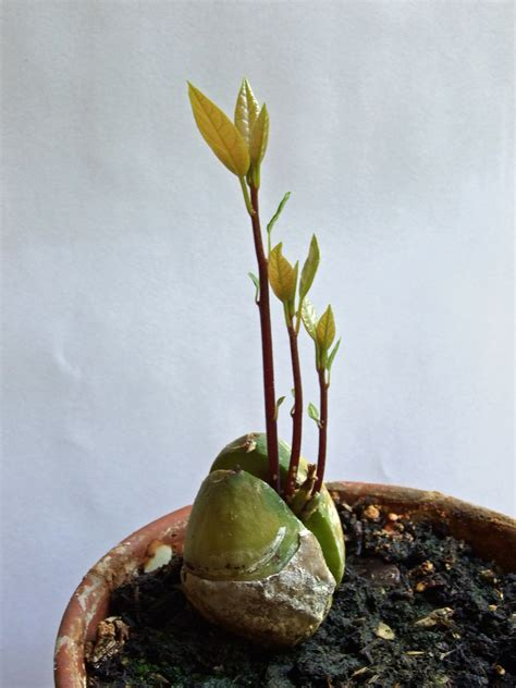 Can You Grow Fruit Trees Indoors - ask bad mama genny growing avocado trees in containers 171 bad mama genny