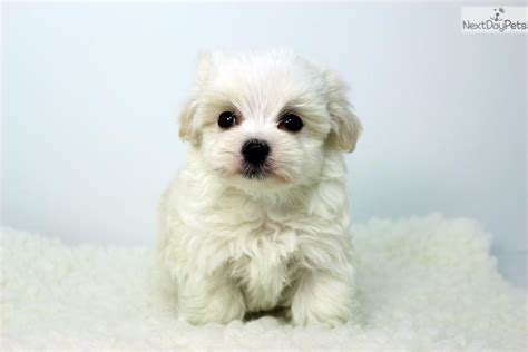 maltese puppies near me maltese puppy for sale near los angeles california