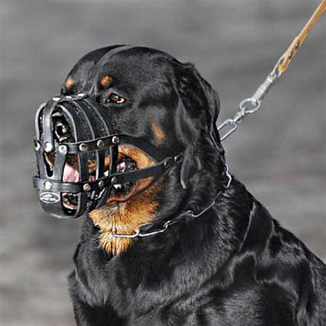 what to look for when buying a rottweiler puppy buy today leather basket muzzle rottweiler breed ventilation muzzles