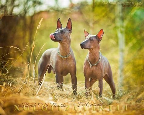 248 best images about xoloitzcuintli, chinese crested