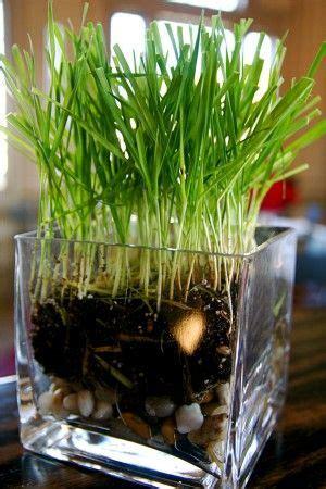 common grass houseplants varieties  indoor grass plants