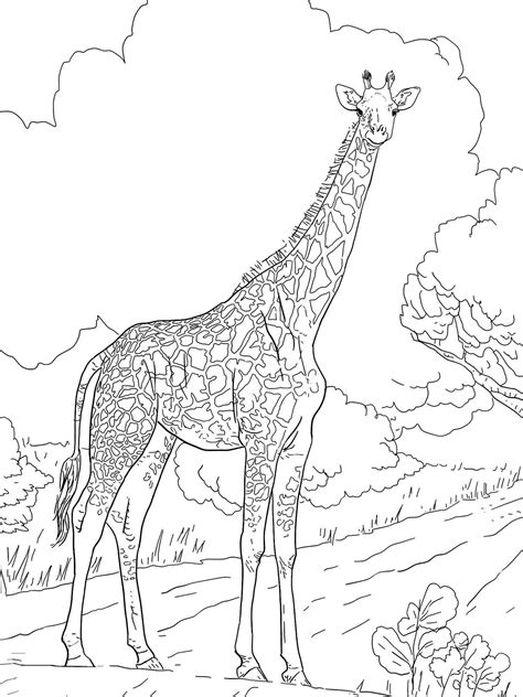 free coloring pages of giraffes giraffe coloring pages bestofcoloring com