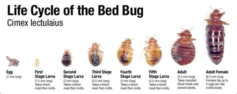 bed bugs lifespan bed bug management restoring dignity omaha