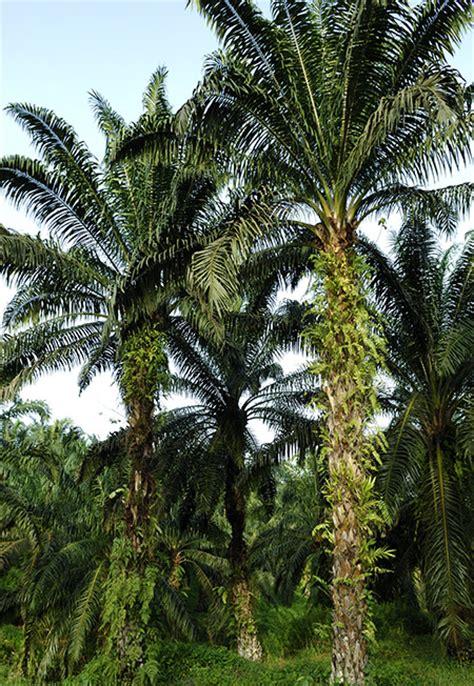 Minyak Kelapa Sawit Hari Ini usaha hari ini untuk kemanan minyak sawit malaysia bagi