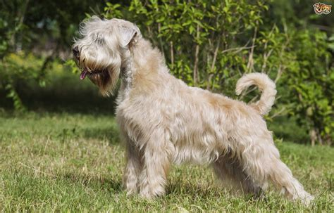 Wheaten Terrier Shedding by Soft Coated Wheaten Terrier Breed Information Buying