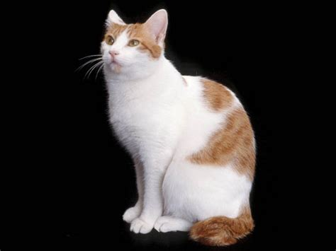 Chats Rooms by Last Tweets About Chats Japanese Bobtail