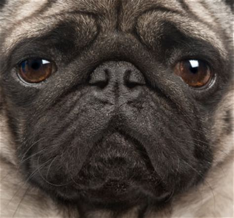 personality of pugs pug personality traits and how to if this type of is for you