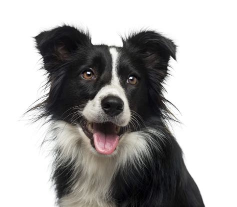 images of border collie puppies border collie dogs breed information omlet
