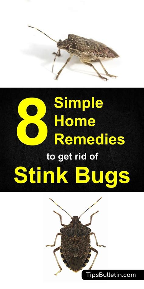 8 Ways To Deal With Pests by Best 25 Green Stink Bug Ideas On Stink Bugs