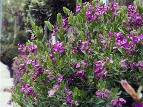 siepi fiorite da giardino siepe fiorita siepi le siepi fiorite