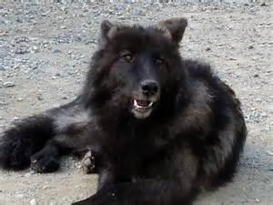 wolf hybrid puppies sun valley wolf kennels