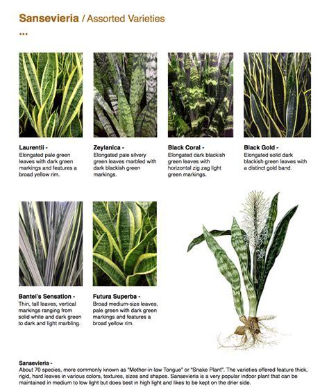 image gallery sansevieria varieties