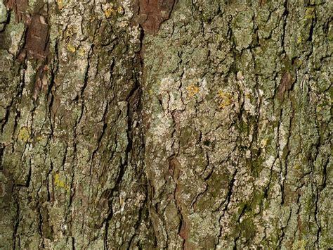 bark tree bark chestnut chestnut tree tribe tree