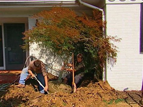 transplanting a maple tree how to transplant a japanese maple how tos diy