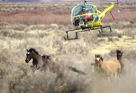 blm mustang roundup court rejects stay sought by advocates allows