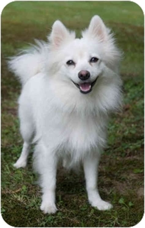 american eskimo and pomeranian mix adopted westfield ny pomeranian american eskimo mix