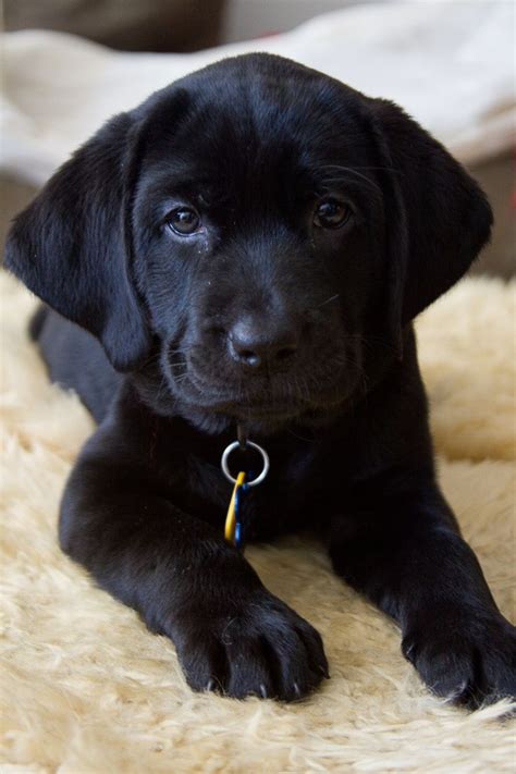 Baby Haisley Black Lab Puppy Black Labby