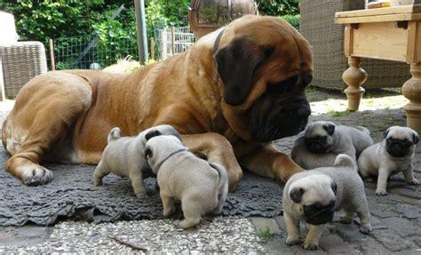mastiff and pug best 25 baby pugs ideas on baby pugs pug puppies and pugs