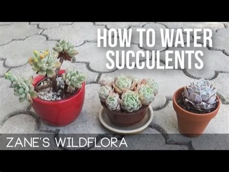 how to water succulents youtube