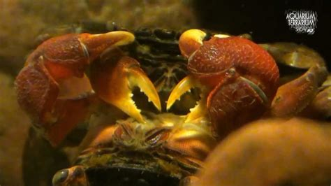 red clawed crab sesarma bidens copulation care