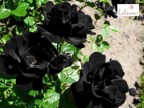 imagenes rosas negras naturales arreglos florales a domicilio en lilium le hablamos de