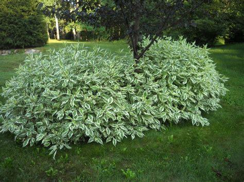 dogwood bush bing images