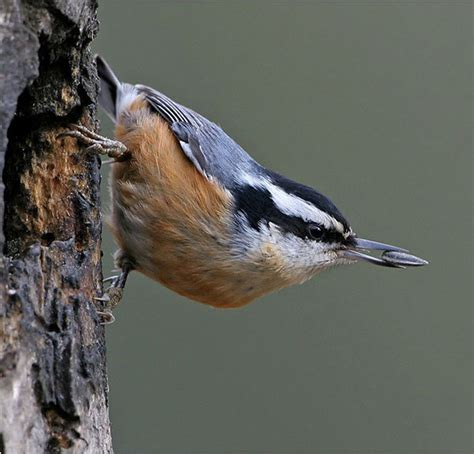red breasted nuthatch coniferous forest