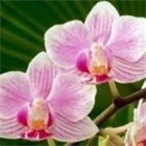 fioritura orchidee orchidee le orchidee e la fioritura