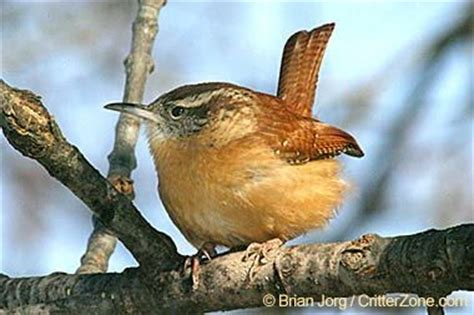 state bird of carolina the carolina wren thryothorus ludovicianus was designated the official state bird of south