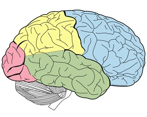 for the brain brain lobes coloring page www pixshark images