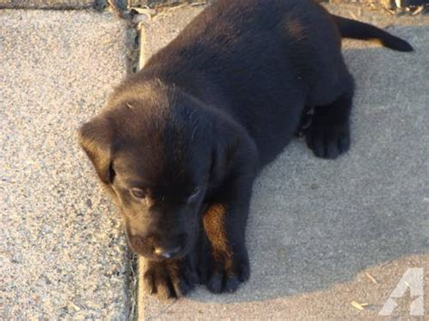 black lab puppies for sale in iowa puppies 2 akc black lab males breeds picture