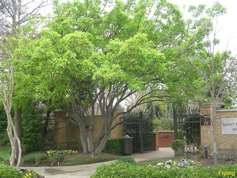 Umbrella Plant Diseases - online plant guide acer ginnala amur maple