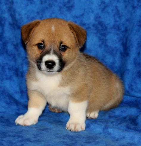 cardigan corgi puppies for sale in pa cardigan corgi breeders in pa sweater jacket