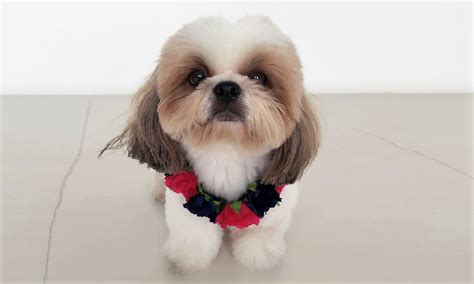 how to a shih tzu to outside tricks on how to groom your shih tzu s shih tzu