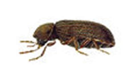 biscuit beetle in bedroom how to get rid of biscuit beetles biscuit beetle control london kent surrey in house