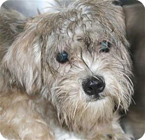 yorkie and miniature poodle mix adopted atlanta ga schnauzer miniature shih tzu mix