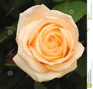 Beige Color cream rose with leaves stock photo image 25510130