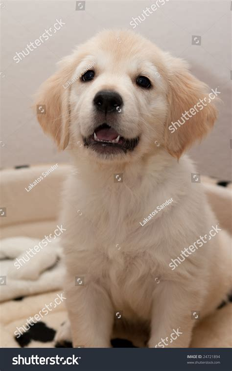 spotted golden retriever of a golden retriever puppy in a spotted bed stock photo 24721894