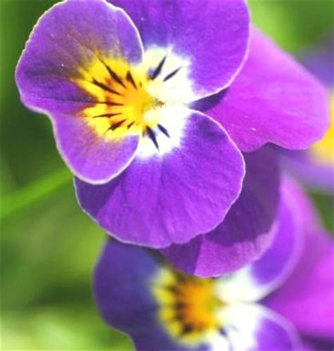 violetta fiore ricette con i fiori frittelle di violette