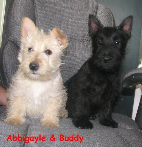 westie puppies for adoption scottish terrier puppies for sale adoption from lethbridge alberta breeds picture