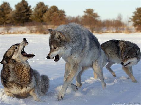 of a wolf wolves world wolves wallpaper 12873211 fanpop